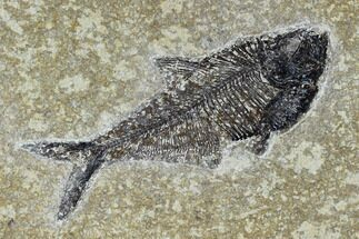 "Buy 5.3"" Fossil Fish (Diplomystus) - Green River Formation - #115579"