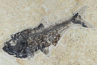 "Buy 7"" Fossil Fish (Diplomystus) - Green River Formation - #115582"