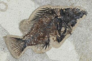 "Buy Bargain, 5.3"" Fossil Fish (Cockerellites) - Green River Formation - #113884"