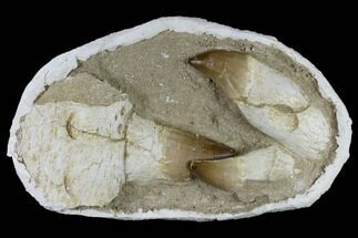 Three, Large Rooted Mosasaur Teeth In Rock - Morocco For Sale, #115781