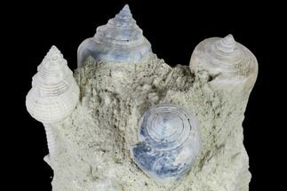 "Buy 3.5"" Tall, Miocene Fossil Gastropod Cluster - France - #113713"