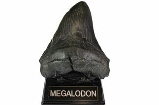 "Buy 5.58"" Fossil Megalodon Tooth - Thick & Solid - #116626"