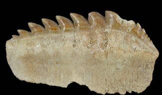 "1.9"" Fossil Cow Shark (Hexanchus) Tooth - Morocco For Sale, #115823"