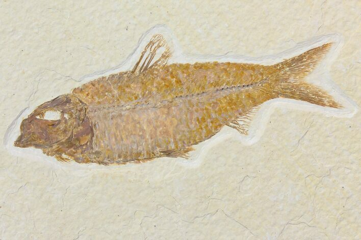 "4.1"" Detailed Fossil Fish (Knightia) - Wyoming"