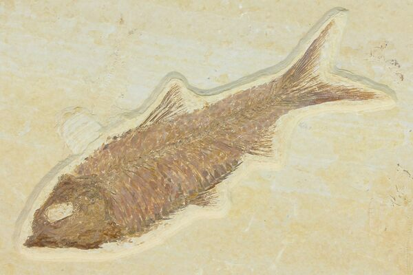 A nicely preserved Knightia from the Green River Formation.