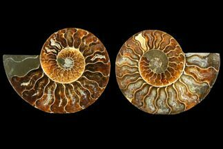 Cleoniceras - Fossils For Sale - #116790