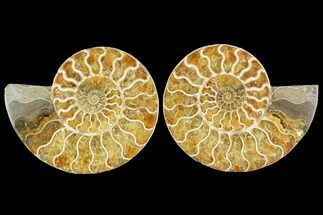 "Buy 4.9"" Agatized Ammonite Fossil (Pair) - Madagascar - #114856"