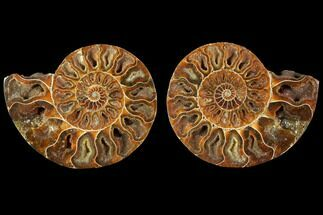 Cleoniceras - Fossils For Sale - #114867