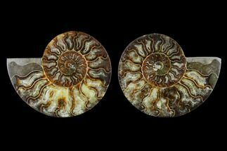 Cleoniceras - Fossils For Sale - #115302
