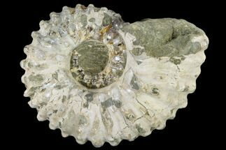 "4.1"" Bumpy Ammonite (Douvilleiceras) Fossil - Madagascar For Sale, #115622"