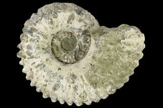 "5"" Bumpy Ammonite (Douvilleiceras) Fossil - Madagascar For Sale, #115625"