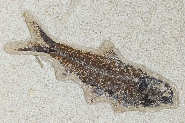 "5.7"" Fossil Fish (Knightia) - Green River Formation"