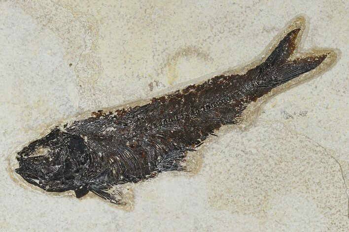 "6.4"" Fossil Fish (Knightia) - Green River Formation"