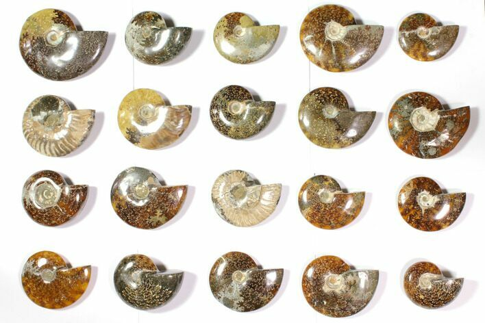 Wholesale Lot: Polished Whole Ammonite Fossils - 20 Pieces