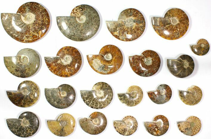 "Wholesale Lot: 3 to 7.2"" Polished Ammonite Fossils 22 pieces"
