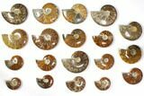 "Wholesale Lot: 2.8 to 5.1"" Polished Ammonite Fossils - 19 Pieces - #116607-1"