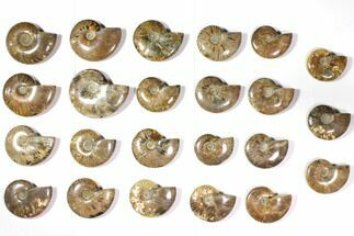 "Wholesale Lot: 2.8 to 4.2"" Polished Ammonite Fossils - 23 Pieces For Sale, #116657"