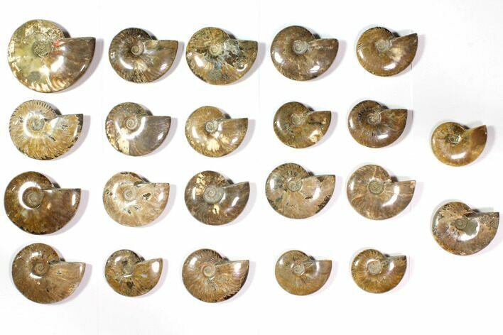 "Wholesale Lot: 3.1 - 4.1"" Polished Whole Ammonite Fossils - 22 Pieces"
