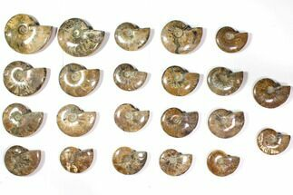 "Buy Wholesale Lot: 3.2 - 4.7"" Polished Whole Ammonite Fossils - 22 Pieces - #116659"