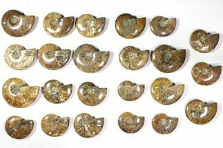 "Buy Wholesale Lot: 3.1 - 4.4"" Polished Whole Ammonite Fossils - 23 Pieces - #116722"