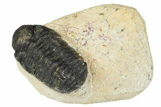 Bargain, 3D Reedops Trilobite Fossils  For Sale, #117962