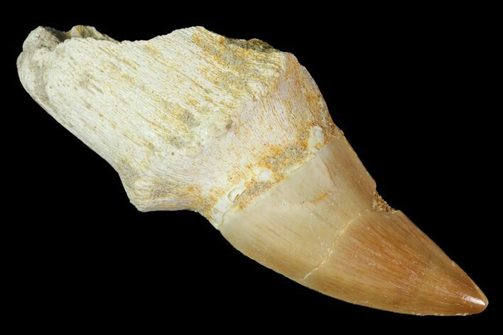 "2.5"" Fossil Rooted Mosasaur (Prognathodon) Tooth - Morocco"