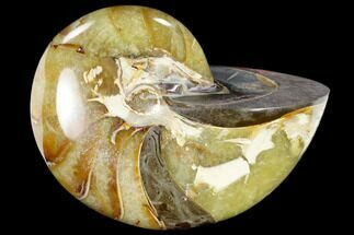 "Buy 3.4"" Polished Fossil Nautilus (Cymatoceras) - Madagascar - #117472"