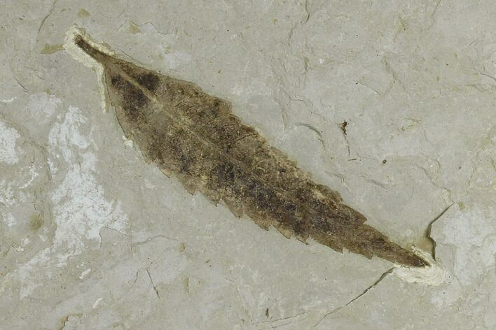 "2.9"" Fossil Willow Leaf (Salix) - Green River Formation, Utah"