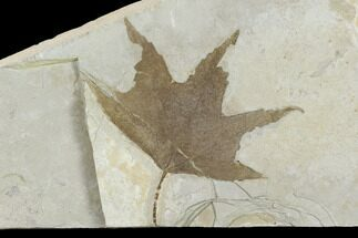 "3.2"" Fossil Sycamore Leaf (Platanus) - Green River Formation, Utah For Sale, #117989"
