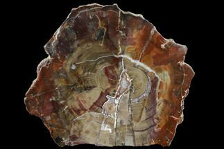 Araucaria - Fossils For Sale - #118056