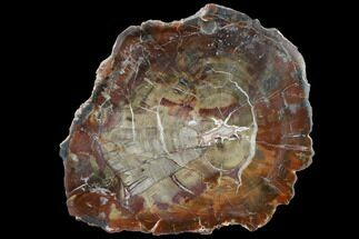 "Buy 8.9"" Triassic Petrified Wood (Araucaria) Slab - Circle Cliffs, Utah - #118066"