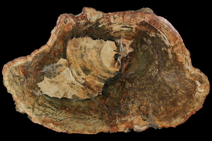 "20.5"" Petrified Wood (Araucaria) Slab - Madagascar"