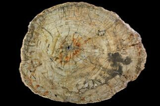 "18.6"" Petrified Wood (Araucaria) Round - Madagascar  For Sale, #118535"