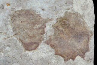 "4.8"" Plate With Two Fossil Poplar (Populus) Leaves - Nebraska For Sale, #119345"