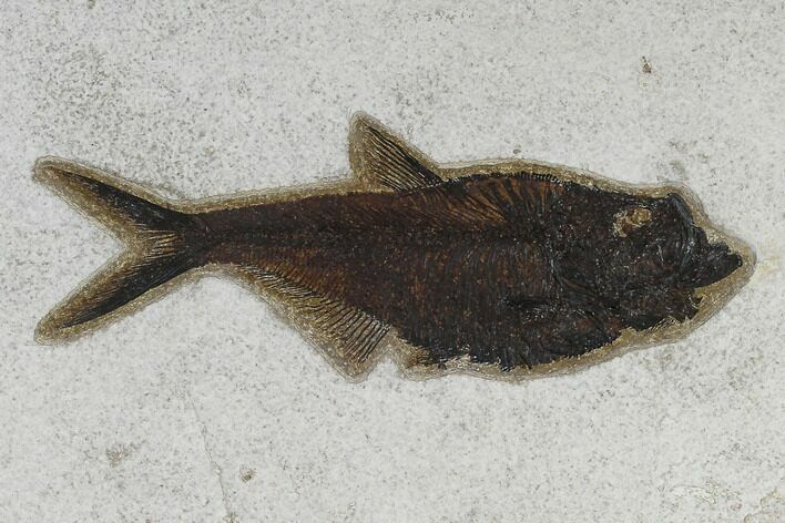 "7.8"" Fossil Fish (Diplomystus) - 18 Inch Layer"