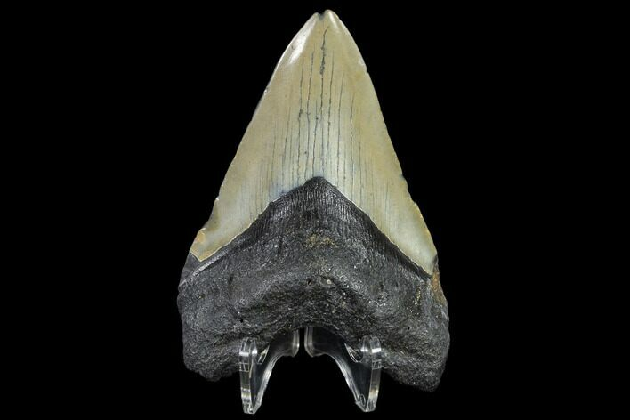 "4.16"" Fossil Megalodon Tooth - North Carolina"