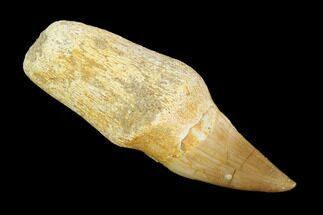 "2.2"" Fossil Rooted Mosasaur (Eremiasaurus) Tooth - Morocco For Sale, #117008"