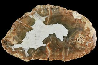 Araucaria sp. - Fossils For Sale - #118773