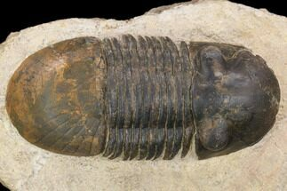 "Bargain, 2.65"" Paralejurus Trilobite Fossil - Foum Zguid, Morocco For Sale, #119837"