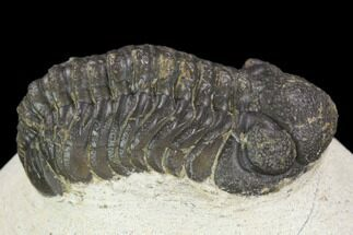"Buy Bargain, 1.9"" Austerops Trilobite - Visible Eye Facets - #120028"
