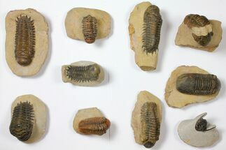 Buy Wholesale Lot: Assorted Devonian Trilobites - 10 Pieces - #119923
