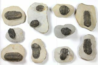 Buy Wholesale Lot: Assorted Devonian Trilobites - 10 Pieces - #119905