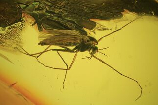 Fossil Fly (Diptera) In Baltic Amber For Sale, #120599