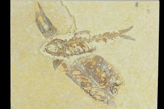 "2.9"" Detailed Fossil Fish (Knightia) - Wyoming For Sale, #120431"