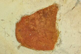 "2.7"" Unidentified Fossil Leaf - Montana For Sale, #120854"