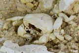 "1.75"" Fossil Crab (Potamon) Preserved in Travertine - Turkey - #121373-5"