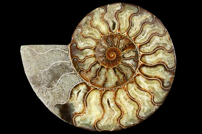 "7.65"" Cut Ammonite Fossil (Half) - Agatized"