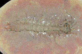 "1.2"" Fossil Syncarid Shrimp (Acanthotelson) - Mazon Creek For Sale, #120953"