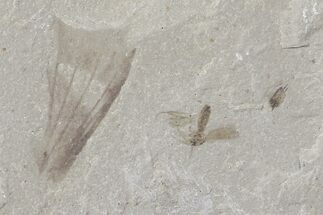 Tipulidae - Fossils For Sale - #109113