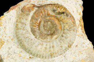 "1.5"" Ammonite Fossil - Boulemane, Morocco For Sale, #122423"